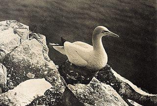 Kearton goose