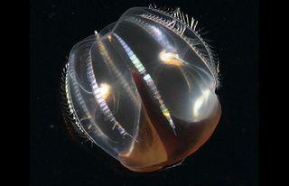 Comb-jelly_1401609i