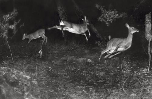 Shris deer